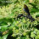BIG Black Wasp - Isodontia