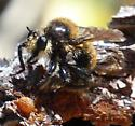 Asilidae Bee mimic - Laphria