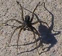 Spider at Woodbridge on 2018 Mar 28 - Pardosa