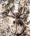 wolf spider? - Pardosa xerampelina
