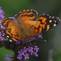 Unknown butterfly view 2 - Vanessa virginiensis