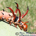 Hickory Horned Devil 01 - Citheronia regalis