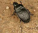 Woodland Ground Beetle? - Dicaelus sculptilis