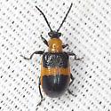Blue-banded Lema Leaf Beetle - Lema solani