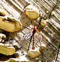 Possible Crane Fly on fungus? - Phoroctenia vittata - male