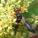 Colorful Wasp - Cerceris bicornuta