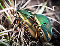 mating beetles - Cotinis nitida - male - female