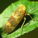 Leafhopper - Jikradia olitoria