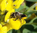 Leafcutter Bee - Megachile melanophaea