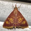 Maroon and yellow moth - Pyrausta acrionalis