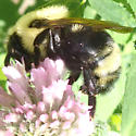 Bee - Bombus citrinus
