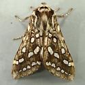 Lophocampa argentata - Silver-spotted Tiger Moth 8209 - Lophocampa argentata - male