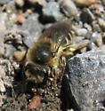 Cellophane Bee #1? - Colletes inaequalis - female