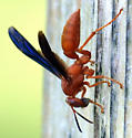 Need an id on this wasp view 2 - Polistes - female
