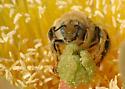 Cactus Diadasia - Diadasia - male