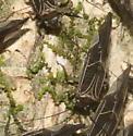 Barklice - Cerastipsocus venosus