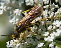 Is this Sawfly Tenthredo? - Tenthredo basilaris
