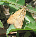 Moth - unident - Achyra rantalis
