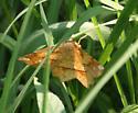 Which moth, please? - Euchlaena amoenaria