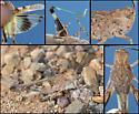 Kiowa Grasshopper - Trachyrhachys kiowa - male