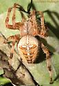 Orb Weaver Spider dorsal - Araneus diadematus
