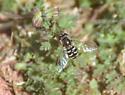 hoverfly - Eupeodes volucris