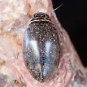 Unknown Beetle - Thermonectus nigrofasciatus - female