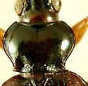 Bembidion (Asioperyphus) postremum Say, 1830  - Bembidion postremum