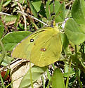 Southern Dogface - Zerene cesonia - male