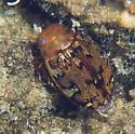Diver - Laccophilus maculosus