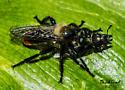 Robberfly with prey - Laphria janus