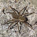 Wolf spider - Pardosa