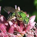 what Green Sweet Bee - Agapostemon sericeus - female