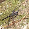 Gray Petaltail in Louisiana - Tachopteryx thoreyi - male