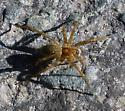 Small brown spider, thin legged wolf spider