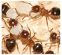 ants in a bee hive - Crematogaster