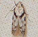 Pseudotelphusa quercinigracella  - Pseudotelphusa quercinigracella