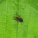 Diptera 6-05-10 03b