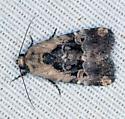 moth - Elaphria chalcedonia