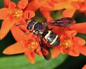 Cuckoo bee - Epeolus bifasciatus