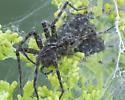Huge Dock Spider - Dolomedes scriptus