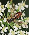Aschiza - Toxomerus marginatus
