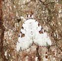Sappho Underwing - Catocala sappho