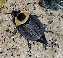 Necrophila americana - American Carrion Beetles - Necrophila americana