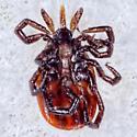 Blacklegged Tick - Ixodes scapularis - female