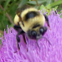 Bombus on Musk Thistle at Chautauqua - Bombus nevadensis - male