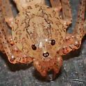 Spitting Spider - Scytodes longipes