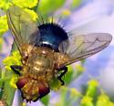 Tachinid Fly - Archytas