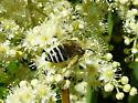 Colletes? - Colletes - female