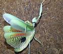 What type of mantis? - Iris oratoria - male